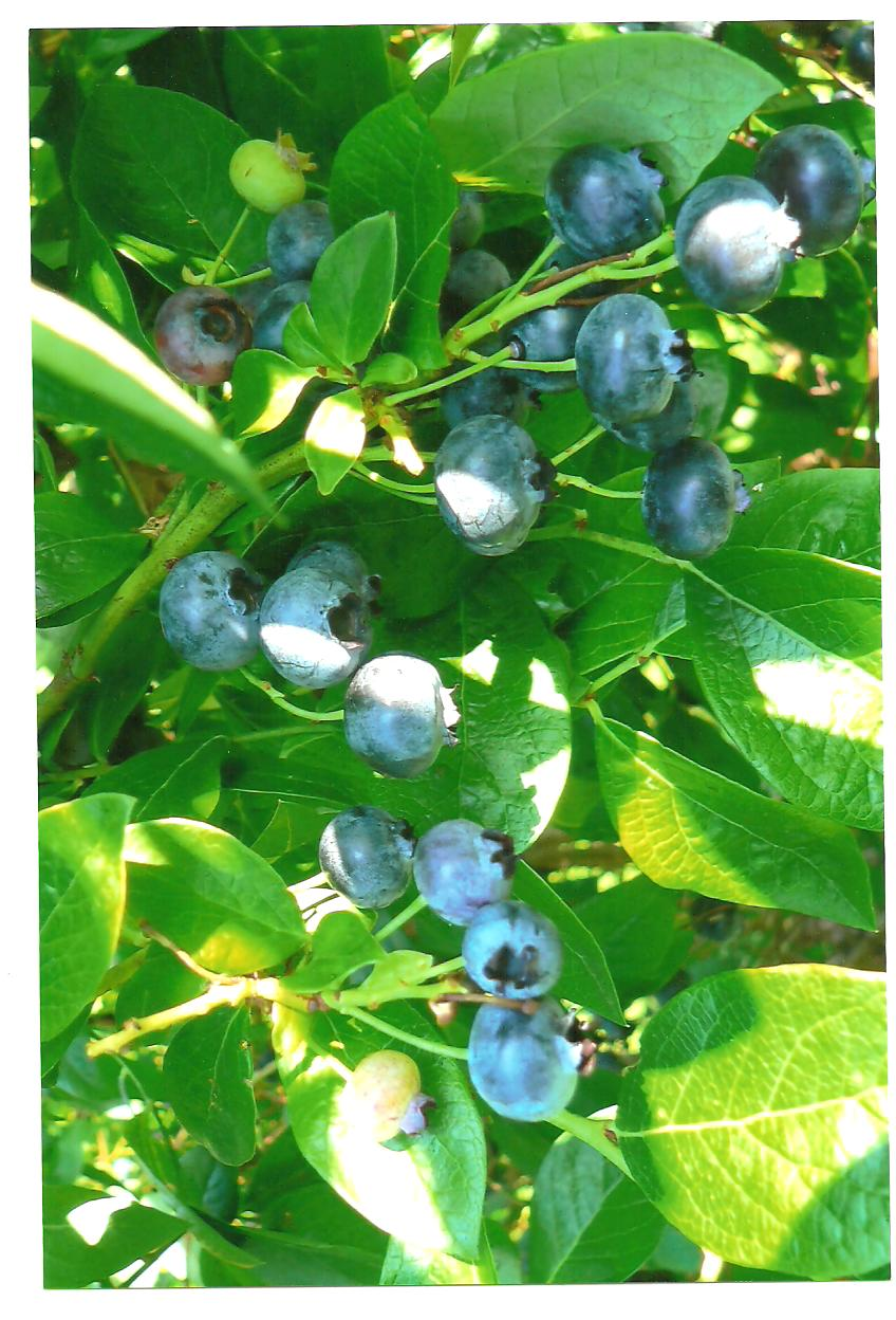 Powell's Patch Blueberries